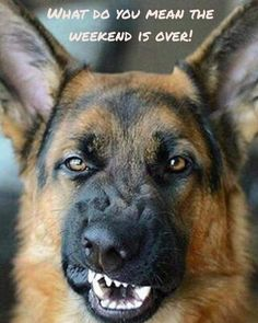 Wicked Training Your German Shepherd Dog Ideas. Mind Blowing Training Your German Shepherd Dog Ideas. Cute Animal Memes, Funny Animal Pictures, Dog Pictures, Funny Animals, Funny Dog Memes, Funny Dogs, Cute Dogs, Love My Dog, German Shepherd Memes