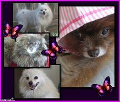My Beautiful Pomeranian Rescues....