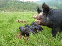 llandeilolocalfood.wordpress.com - berkshire pigs