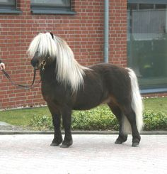 Shetland Pony stallion... Shetland Sheepdogs fit right in with these guys. Small but beautiful!