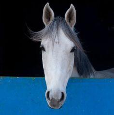 horse / blue barn door