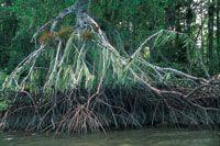 La amplia diferencia de niveles que hay entre pleamar y bajamar en el Pacífico colombiano, se evidencia en la zonación vertical de las raíces del mangle rojo.