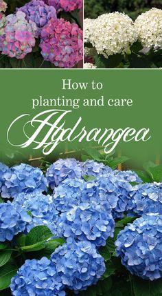 How to grow Hydrangea | Hydrangea Care | Growing information hydrangea