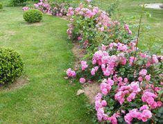Живая изгородь из почвопокровной розы