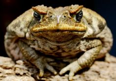 The cane toad is a known pest in Australia and its numbers continue to rise. At Tony Hakim animal lovers, we understand the need to address and be aware of invasive species, so here are a few facts about cane toads you may or may not have known. Frog Species, Old Wife, Unusual Animals, Rare Animals, Frog And Toad, Reptiles And Amphibians, Mole, Wildlife, Creatures