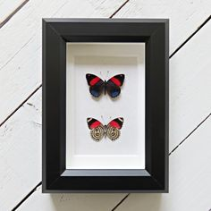 Real framed butterfly: Callicore hystaspes // door ItemsByNature