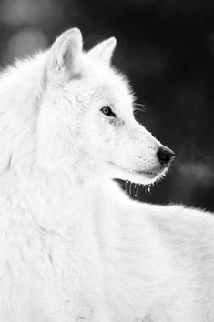 White wolf - The arctic wolf (Canis lupus arctos), also called polar wolf or white wolf, is a subspecies of the gray wolf, a mammal of the family Canidae. Arctic wolves inhabit the Canadian Arctic, Alaska and the northern parts of Greenland. They also have white fur and long canine teeth for killing their prey. Elusive - by Sherry Goldstein...