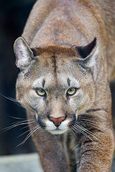 puma wikipedia animal