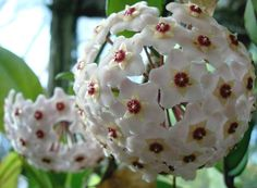 Hoya carnosa... they bloom multiple flowers in a half ball. Very fragrant ~~