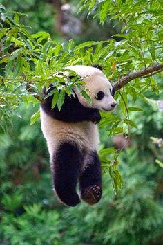 Hanging Panda, I enjoy Panda's so much.....