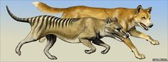 "The extinct marsupial Thylacine, commonly known as the ""marsupial wolf"" or ""Tasmanian tiger"" hunted more like a cat than a dog, based on new research studying it's arm bones. It was a solitary hunter, unlike dogs or wolves, which hunt in packs. Extinct Animals, Prehistoric Animals, Tasmanian Tiger, Tasmanian Devil, Convergent Evolution, Like A Cat, Predator, Big Cats, New Zealand"