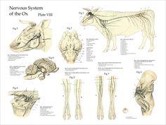 Cow Nerve Anatomy Poster
