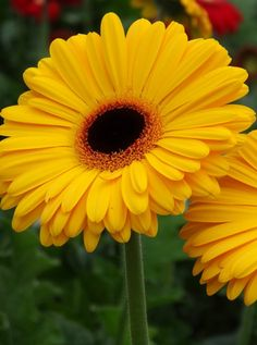 Que color wuao Sunflowers And Daisies, Gerber Daisies, Yellow Flowers, Silk Flowers, Wonderful Flowers, Beautiful Flowers, Flower Images, Flower Art, Flower Bouquet Wedding