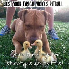 Pit bulls are like any other animal or human ! They are a product of the way they are treated! My pit bull has never hurt anyone, he is the heart of our family ! protective yes , vicious no!!! Think before you judge!!
