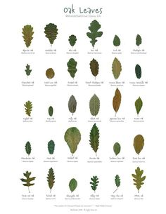 This poster was created with 30 different species of oak leaves that I collected from the Shields Grove in Davis, CA.  Please note that I am offering the digital file for download. The file is print-ready. Just take it to a printer of your preference.  No resale allowed. All rights reserved Oak Leaves, Tree Leaves, Tree Leaf Identification, Nature Journal, Oak Tree, Horticulture, Botany, Trees To Plant, Cactus Plants