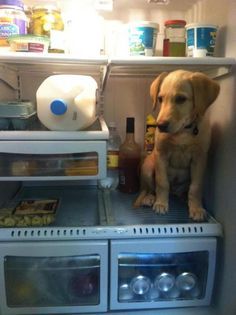 Look at this silly #labrador in the refrigerator! Looks like he wants some human #food Member photo from labradors.com