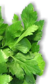 Parsley plant properties. Scientific name, Identification. Active ingredients and content of Parsley leaves, seeds and roots. General characteristics of the Parsley plant. Medicinal properties, benefits. Uses and contraindications. Preparation and dosage. http://www.medicinalplants-pharmacognosy.com/herbs-medicinal-plants/parsley/