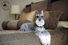 To My Remington Schnauzer by Fix Your Images Photography