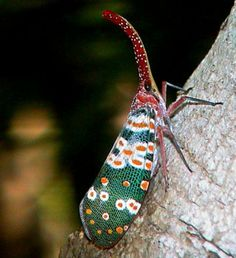 Pyrops candelaria (Fulgoridae)  thaibugs.com  all about Thailand's insects