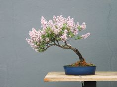 arvores bonsai 17