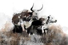 Available in a range of sizes. - Delivery is FREE to anywhere in South Africa! Watercolours, Cattle, South Africa, Delivery, Canvas Prints, Range, Free, Animals, Color