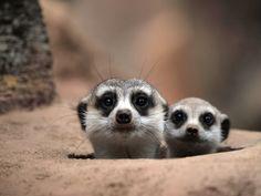 Two observers - Meerkat