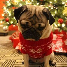 PetsLady's Pick: Adorable Christmas Sweater Pug Of The Day...see more at PetsLady.com -The FUN site for Animal Lovers