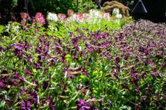 Nicotiana and Cleome at Butchard Gardens, BC. Thinking Outside the Boxwood