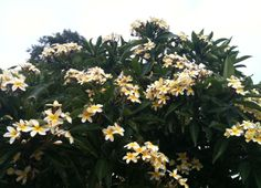 Plumeria tree with yellow blooms and smells like butter to me. Located in the BACK garden near the house with the pink and white plumeria. Blooms in the Spring (May) Colorful Trees, Colorful Flowers, Beautiful Flowers, Hawaian Islands, Plumeria Tree, Hibiscus, Spring Blossom, Landscaping Plants, Flowering Trees