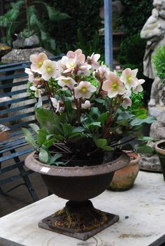 Relics, Sculpture, Motifs for the Home : Helleborus orientalis blooms very early in our season with flowers much like a single rose- thus the common name Lenten Rose. Garden Urns, Garden Plants, Container Plants, Container Gardening, Beautiful Gardens, Beautiful Flowers, Lenten Rose, Pot Jardin, Pot Plante
