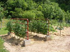 old gates in cinder blocks for tomato supports