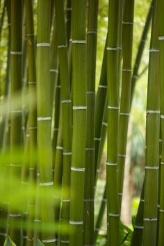 Used to play in the bamboo in our backyard in Pomona, CA