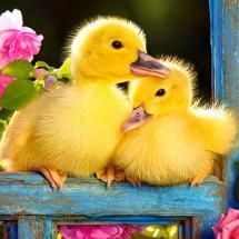 ducklings in garden