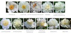 Peony Flower Shape Images