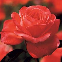 Tropicana Hybrid Tea Rose -	 World-renowned for its flashy bloom color. Winner of 21 international awards, this long-stemmed beauty has a strong fruity fragrance and big 5 inch blooms of fluorescent coral-orange. Glossy, dark green foliage sets off the flowers. Grows 4 to 6 feet tall.