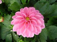 Dahlia-Dahlinova_Pink.jpg (1600×1200)