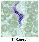 Trypanosoma rangeli