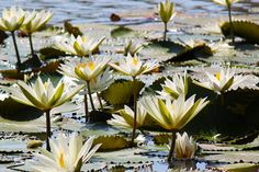 9/10(土)バリ島ウブドのお天気は晴れ。室内温度29.3℃、湿度60%。 今日もカラリとした風が吹き、美しい青空が広がっています。大輪のハスが美しく優雅に咲いています。