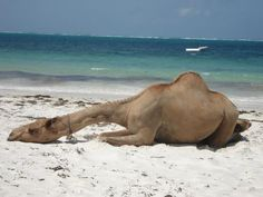 "Geele in Mogadishu - camel ""chillin"" Tanzania, Kenya, Somali, Camels, East Africa, Llamas, Nature Animals, Ethiopia, Strand"