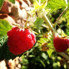 Raspberry #raspberry #lacortedelconte #love #fruit #flower (presso La Corte del Conte) Conte, Cooking Classes, Italian Recipes, Italian Soup Recipes