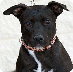 Palmdale, CA - Pit Bull Terrier Mix. Meet Lexy, a puppy for adoption. http://www.adoptapet.com/pet/12089264-palmdale-california-pit-bull-terrier-mix