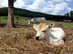 Cattle, Calves, Cow, To Go, Grey, Animals, Gado Gado, Gray, Baby Cows