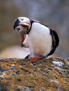 puffin funny but before i did not know that animal! what a shame! it is so cute! Pretty Birds, Love Birds, Beautiful Birds, Animals Beautiful, Baby Animals, Funny Animals, Cute Animals, Sea Birds, Wild Birds