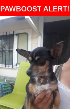 Is this your lost pet? Found in North Highlands, CA 95660. Please spread the word so we can find the owner!  Black and tan Chihuahua  Nearest Address: Near Stonecutter Way & Hamlin Dr