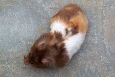 Syrian Hamster Varieties - Harvey Hams - Calico