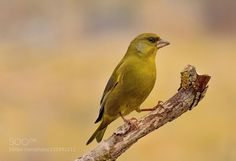 Greenfinch by frank742. @go4fotos