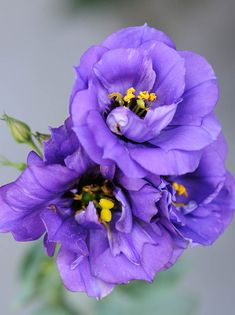 """Purple Lisianthus...we have these! theyare a """"poor man's rose""""  ...beautiful...no thorns but no fragrance"""