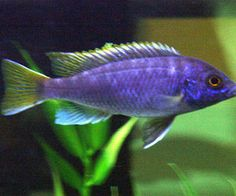 Acei Cichlid - African Cichlid Freshwater Fish Profile
