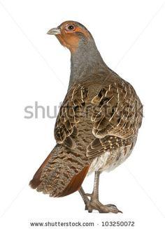 stock-photo-grey-partridge-perdix-perdix-also-known-as-the-english-partridge-hungarian-partridge-or-hun-a-103250072.jpg (338×470)