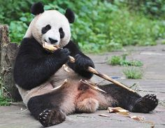 Panda eet bamboe (© Reuters/China Daily)
